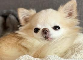 一组慵懒可爱的博美狗狗