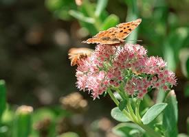 一组粉色花花上的花蝴蝶图片