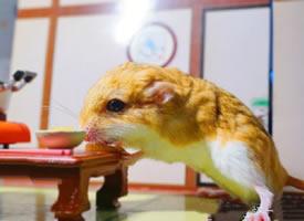 喜欢吃各种美食的小仓鼠