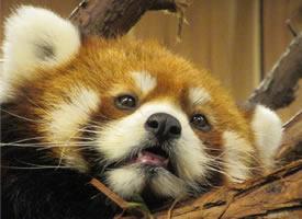 一组眼神超可爱超萌的小熊猫图片