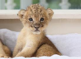 一组超可爱超萌的狮子幼崽图片
