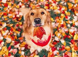迷人的秋色,幸福的狗狗