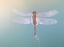 一组花枝上美丽的蜻蜓图片