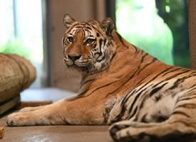 一组感觉憨憨的老虎图片