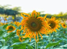 趁向日葵还没低下头,再看一眼夏天