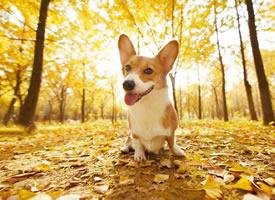 秋天和柯基真的是超配