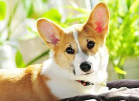 一组超治愈的柯基狗狗图片