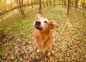 大金毛早的最美秋季照片