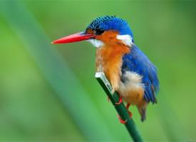 可爱翠鸟高清动物图片
