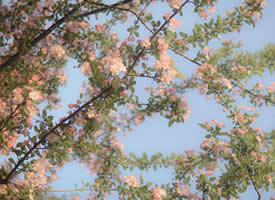清新唯美的海棠花图片桌面壁纸