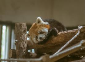 小熊猫届顶级小甜饼