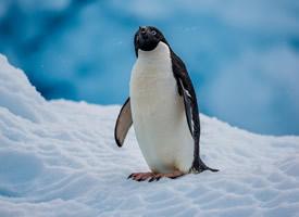 憨厚可爱南极企鹅高清桌面壁纸