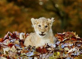 苏格兰动物园里的一只小母狮子