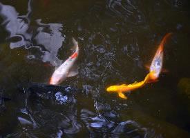 美妙的池中锦鲤图片