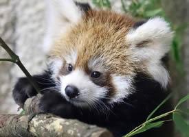 一组超呆萌可爱的小熊猫