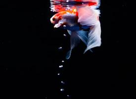 池中美丽游动的金鱼图片
