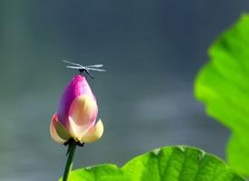 一组荷尖上的蜻蜓图片欣赏