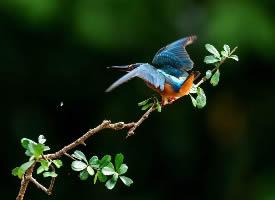 翠鸟登枝头图片欣赏