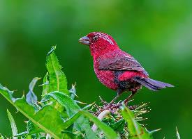 漂亮的酒红朱雀图片