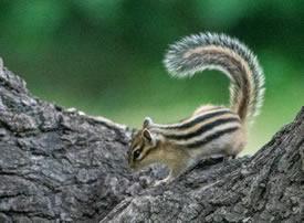 爱爬树的花栗鼠图片欣赏