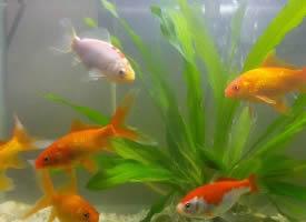客厅鱼缸里里养的金鱼图片