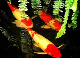 一组漂亮红火的锦鲤图片