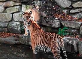 比利时天堂动物园的老虎们