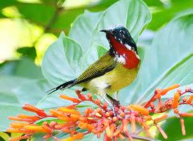在啄食花蜜的叉尾太阳鸟图片