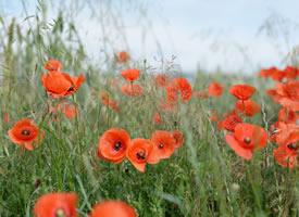 唯美艳丽的罂粟花图片桌面壁纸