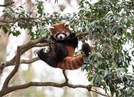 喜闻乐见的小熊猫翻车现场