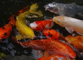 五颜六色的锦鲤图片