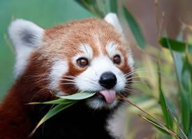 正在吃竹叶的小熊猫图片