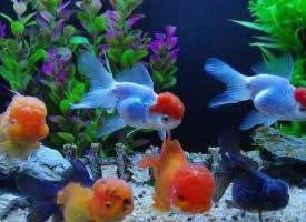 一组赏心悦目的金鱼图片