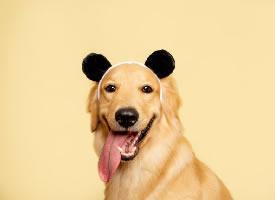 一组温暖可爱的金毛狗摄影图片