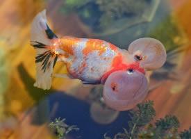 一组身姿奇异的金鱼图片