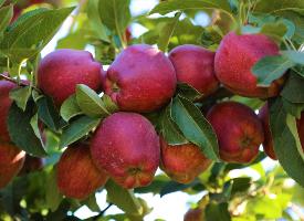 挂在树枝上的红苹果图片