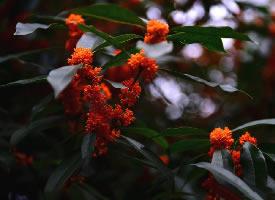 一组气味浓郁的桂花图片
