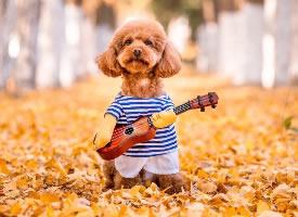 银杏树下的泰迪狗狗摄影写真图片