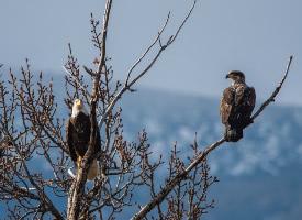 野外的鹰图片