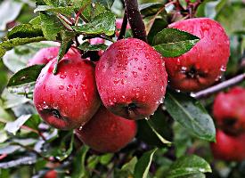 红红的苹果挂满了枝头