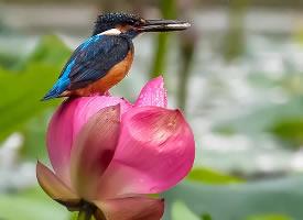 红色荷花上的美丽翠鸟