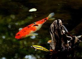吉祥好运的锦鲤图片