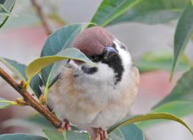 树枝上胖乎乎的麻雀图片