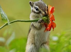 在花枝上玩耍的花栗鼠图片
