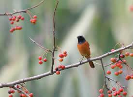 枝头的玲珑小鸟图片