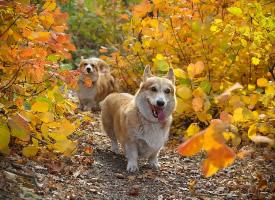 丛林中奔跑跳跃的可爱柯基图片