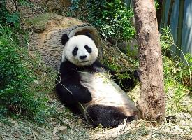 一组珍稀的大熊猫图片