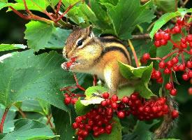 喜欢吃果子的花栗鼠图片