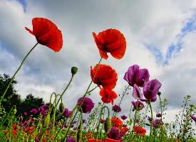 魅惑迷人的罂粟花图片