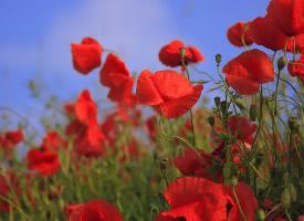 一组红色的罂粟花图片
